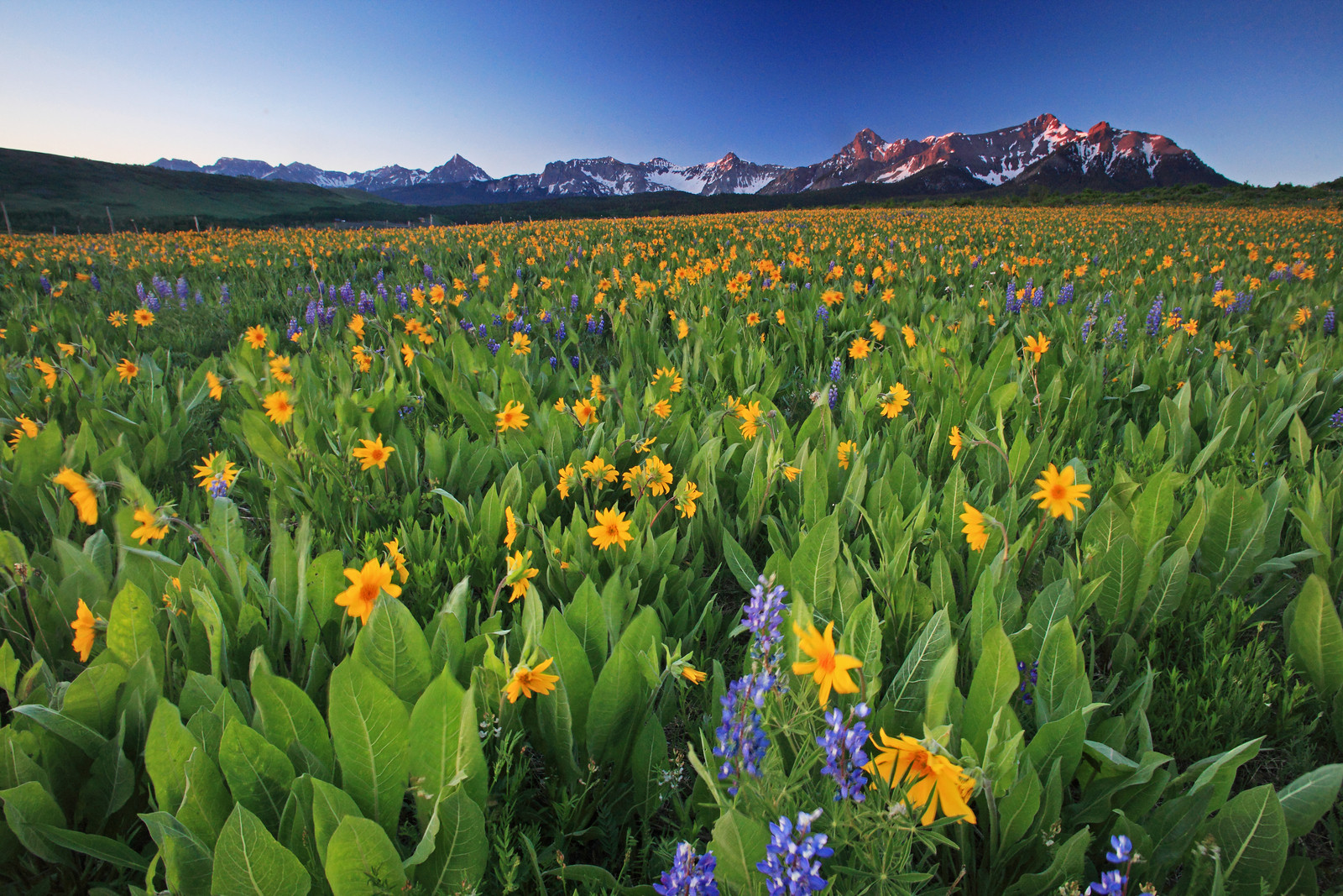 yellow wildflower field